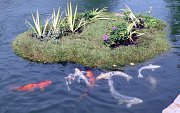 Koi fish enjoying shelter and abundance of food around ornamental floating island